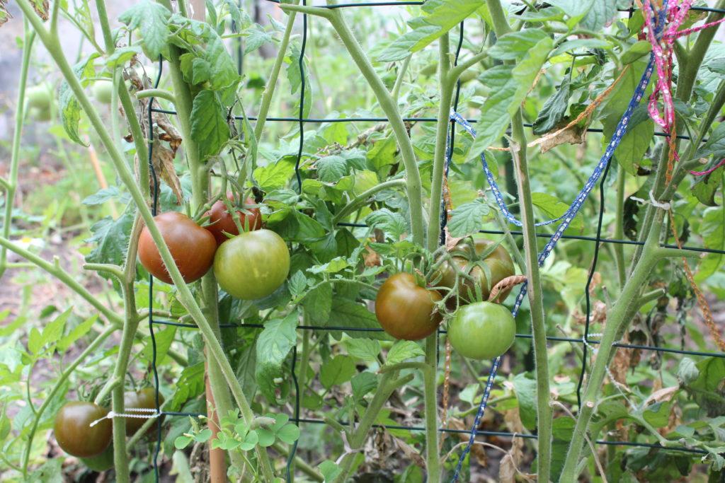 Tomates cultivées contre une clôture grillagée