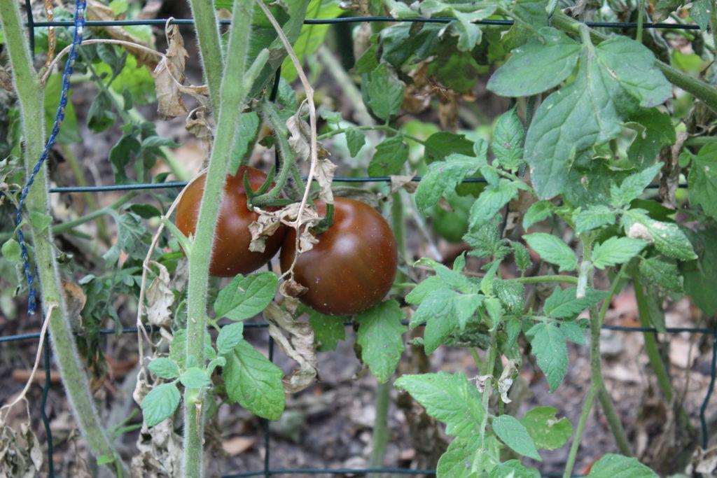 Tomates rouges bio au potager
