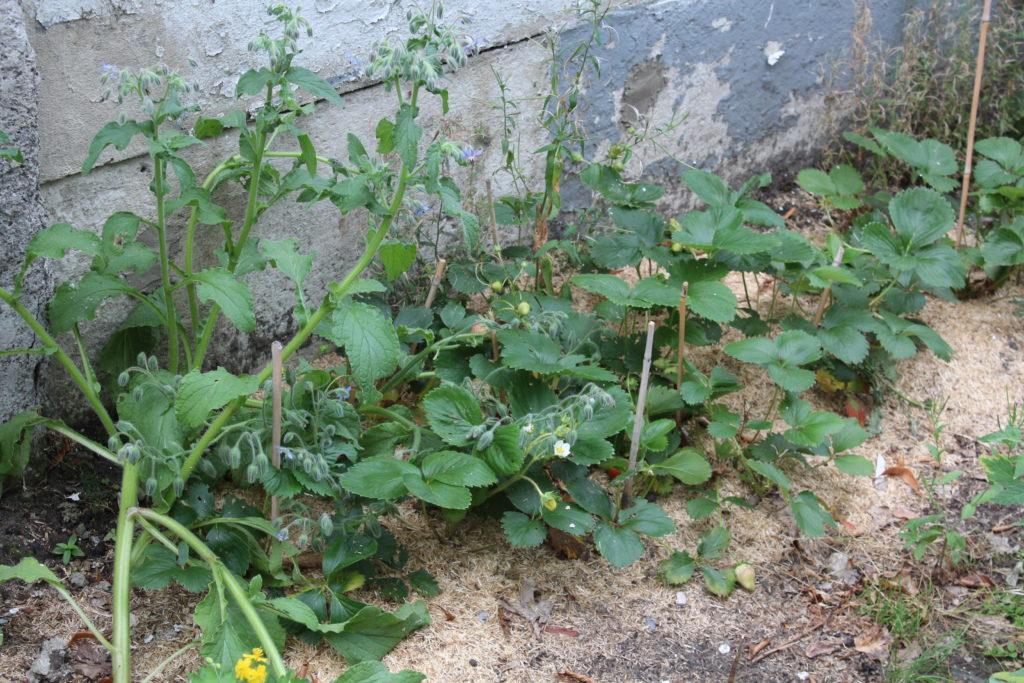 Bourrache semée entre les pieds des fraisiers pour repousser les limaces